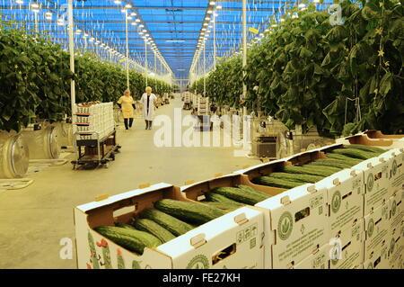 REGION LIPEZK, 3. FEBRUAR 2016. Gemüsebauern im Gewächshaus für die Bepflanzung von Gurken im LipetskAgro Gewächshaus - Stockfoto