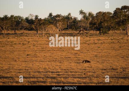 Ein großer Ameisenbär auf Nahrungssuche auf einer Weide in Zentral-Brasilien - Stockfoto