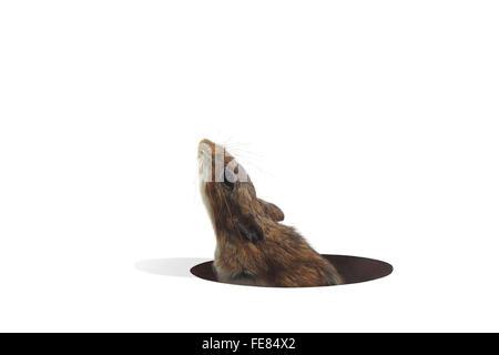 Maus spähen, vom Loch in den Boden auf weißem Grund - Stockfoto
