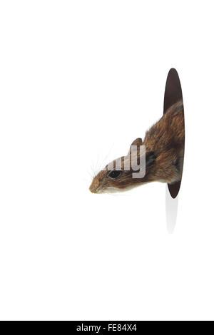 Maus vom Loch in der Wand auf einem weißen Hintergrund heraus spähen - Stockfoto