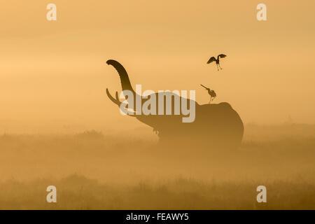 Afrikanische Elefanten im Nebel mit Kuhreiher auf dem Rücken in den frühen Morgenstunden im Amboseli-Nationalpark - Stockfoto