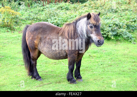 Das Dartmoor Pony vor dem Hintergrund der grünen Wiese - Stockfoto
