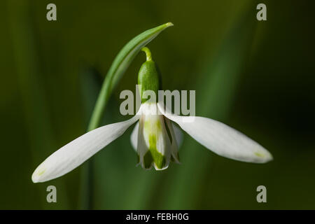 "Galanthus Nivalis ""Daphnes Schere"" - Stockfoto"