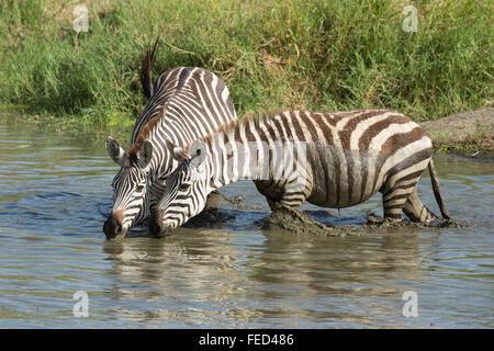Ebenen Zebra trinken vom Fluss Seronera in der Serengeti Nationalpark, Tansania - Stockfoto