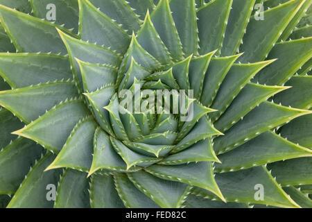 Aloë Vera Pflanze Vollformat hautnah Stockfoto