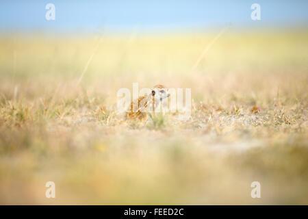 Erdmännchen auf open Veld in Botswana - Stockfoto