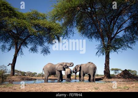 Elefanten an einer Wasserstelle - Stockfoto