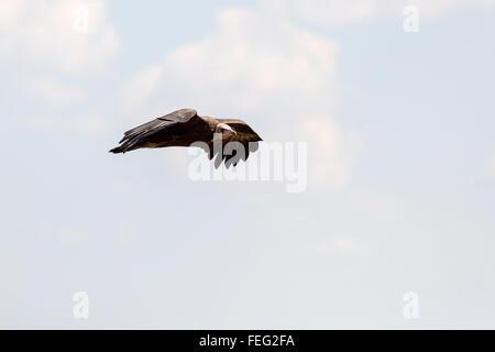 Vultutre fliegen in den Himmel - Stockfoto