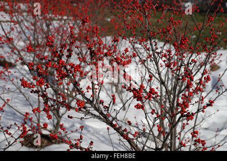 Sanddorn Busch mit Beeren im Winter mit Schnee auf dem Hintergrund. - Stockfoto
