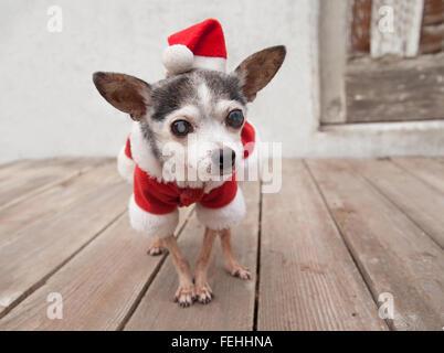 Alter Chihuahua senior Hund trägt Santa Anzug und Hut steht auf hölzernen Plattform vor alten weißen Stuck-garage - Stockfoto