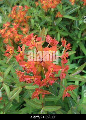Cluster von leuchtend roten Blüten und grünen Blättern des ...