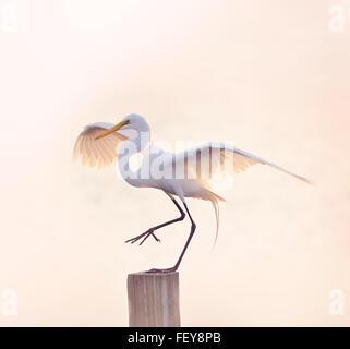 Snowy Reiher mit gespreizten Flügeln - Stockfoto