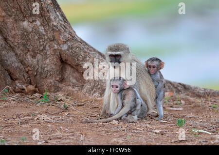 Vervet Affen (grüne Aethiops), zwei junge Männer mit ihrer Mutter, Krüger Nationalpark, Südafrika, Afrika - Stockfoto