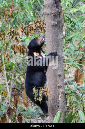 Bornean Sun Bear (Helarctos Malayanus Euryspilus) klettern am Baum, Sabah, Malaysia - Stockfoto