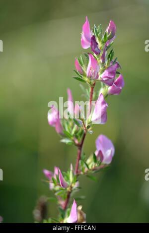 Stachelige Restharrow (Ononis Spinosa). Ein attraktives Mitglied der Erbse Familie (Fabaceae), mit zarten rosa Blüten - Stockfoto