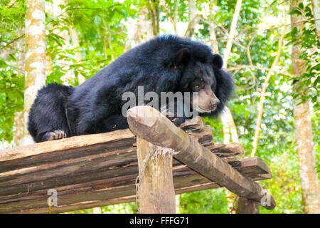 Asiatische Sun Bear entspannen im Schatten, Laos - Stockfoto