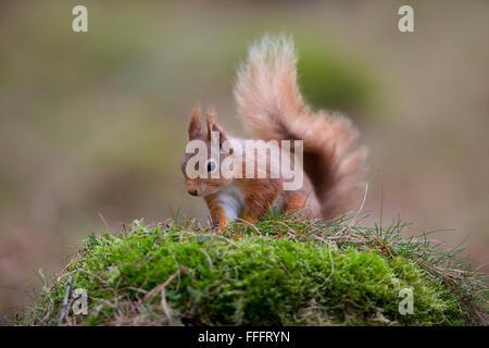 Eichhörnchen; Sciurus Vulgaris auf Moss Schottland Single; UK - Stockfoto