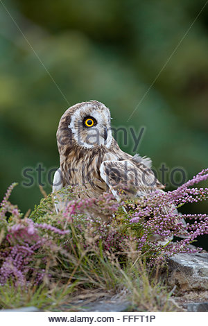Kurze Eared Eule; ASIO Flammeus Single mit Heather Wales; UK - Stockfoto