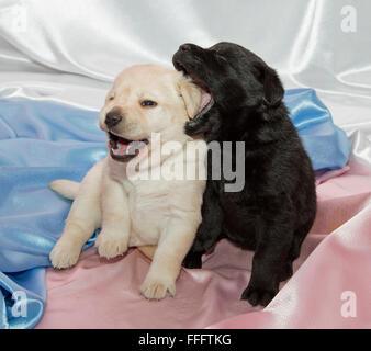 Zwei Labrador Retriever Welpen spielen. - Stockfoto