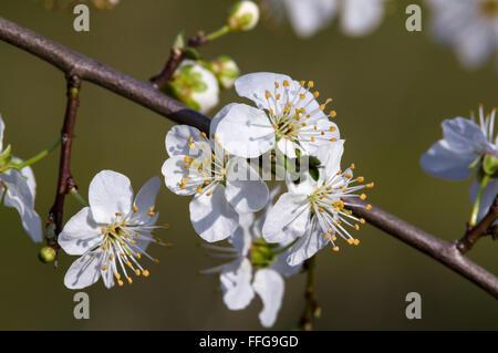 Schlehe Prunus Spinosa blühen im Frühjahr vor grünem Hintergrund verschwommen - Stockfoto