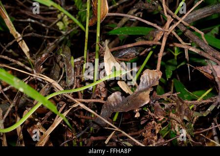 Langnasen-Baumschlange, grüne Reben Schlange, Langnasen-Peitsche Schlange oder asiatischen Rebe Schlange (Ahaetulla Nasuta) Sinharaja Forest Reserve,