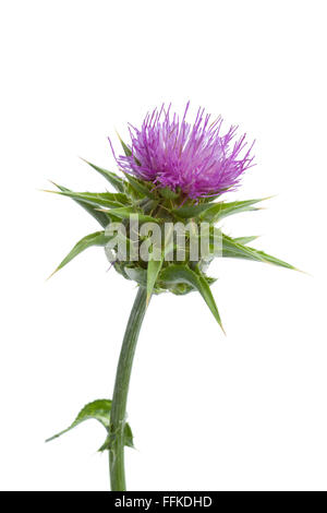 milk thistle stockfoto bild 90423562 alamy. Black Bedroom Furniture Sets. Home Design Ideas