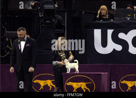 New York, USA. 15. Februar 2016. Total Sonnus Filho (Sanchez), ein Chihuahua (Smooth Coat), als er für den Spielzeug - Stockfoto