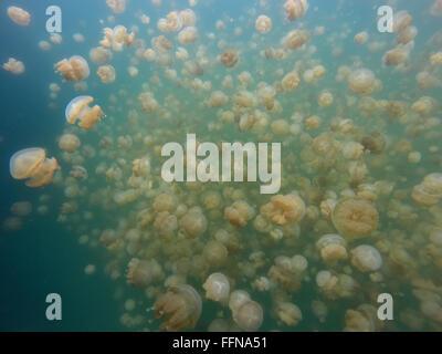 Jellyfish Lake in Palau, Mikronesien, Pazifik. Goldene Quallen Tauchen, Unterwasserwelt, Tiere - Stockfoto