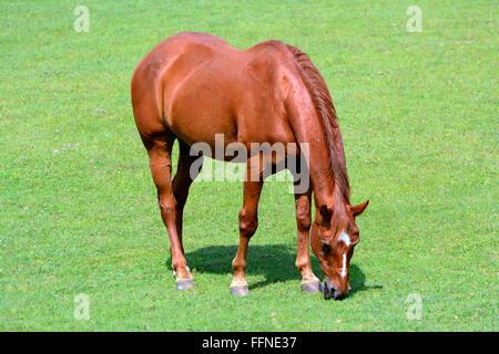 Fußboden Graß Essen ~ Schöne braune pferd essen gras in der natur neben sa pa vietnam