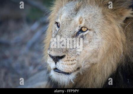 Porträt eines Reifen männlichen Löwen (Panthera Leo) mit viel Charakter - Stockfoto
