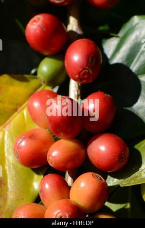 Kaffeebaum mit Kaffeekirsche auf Plantage Gebiet. - Stockfoto