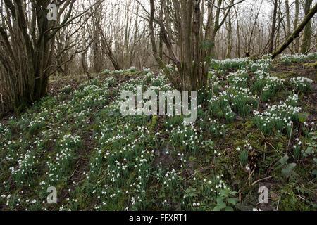 Schneeglöckchen, Galanths Nivalis, inmitten der Wälder von Rundschnitt Hazel im späten Winter., Berkshire, Februar - Stockfoto
