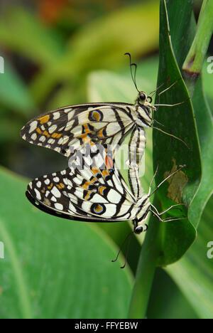 Kalk-Schmetterling Paarung Schmetterlingspark Bannerghatta in Bangalore, Karnataka Indien Asien - Stockfoto