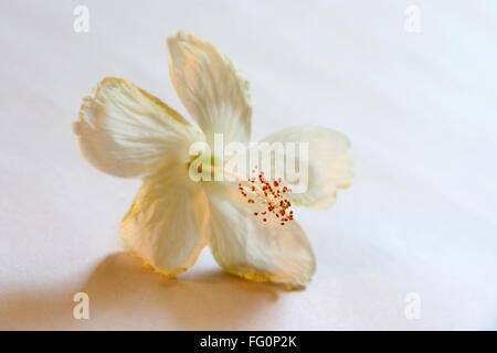 Natur, verwendet Schuh Blume Hibiskus Farbe rosa und weiß für ...