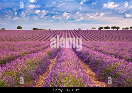 Blühende Felder von Lavendel auf dem Plateau von Valensole in der Provence in Südfrankreich. - Stockfoto