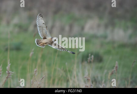 Short-eared Eule Asio Flammeus jagt. Winter. UK - Stockfoto
