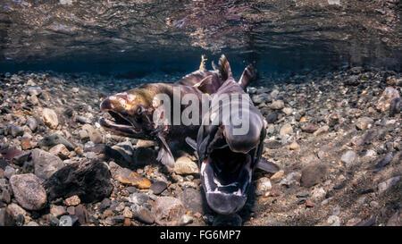 Männlicher Silberlachs (Oncorhynchus Kisutch) Reaktion auf des Weibchens Sondierung von klaffende, Unterwasser Ansicht - Stockfoto