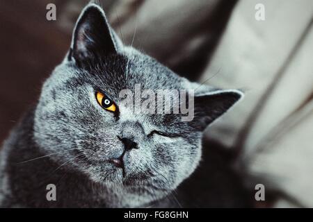 Porträt-Nahaufnahme von Chartreux Katze Zwinkern - Stockfoto