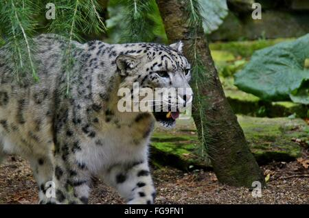 Snow Leopard laufen im Wald des Himalaya