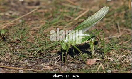 Zur Eiablage Tettigonia Viridissima Großen Grünen Bush-Cricket Katydid, Nynäshamn, Schweden - Stockfoto