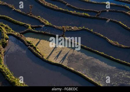 Lange Schatten, Niujiaozhai Reisterrassen, Provinz Yunnan, China Huhn - Stockfoto