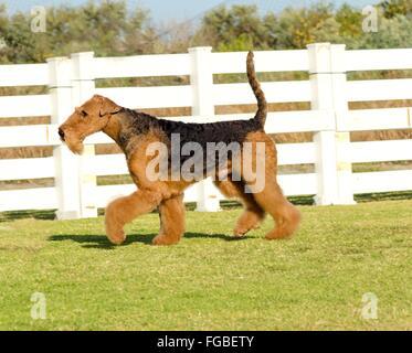 Ein Höhenplan eines Black And Tan Airedale Terrier Hund zu Fuß auf dem Rasen, suchen glücklich. Es ist bekannt als - Stockfoto