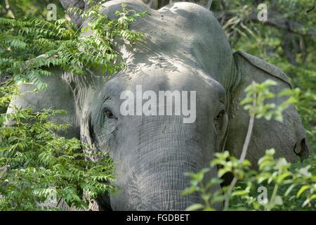 Asiatischer Elefant (Elephas Maximus Indicus) unreif männlich, Nahaufnahme des Kopfes, Vegetation im Wald, Jim Corbett - Stockfoto