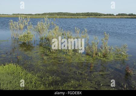 Weide (Salix Sp.) Büsche unter Wasser nach starken Regenfällen, an Stelle des ehemaligen Tagebau Kohlenbergwerk, - Stockfoto