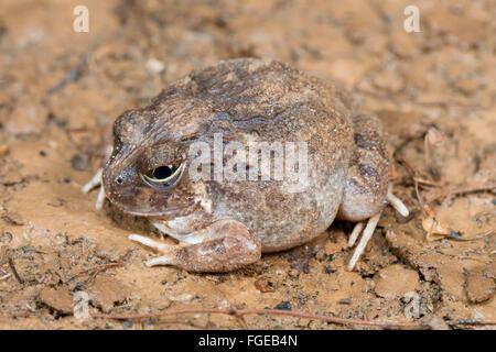 Reich verzierte wühlen Frosch (Platyplectrum Ornatum), Queensland, Australien - Stockfoto