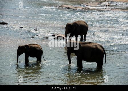 Zweimal täglich werden Elefanten geführt, in den nahe gelegenen Maha Oya Fluss aus das Pinnawela-Elefantenwaisenhaus - Stockfoto