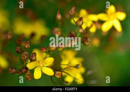 Slender St.-Johanniskraut (Hypericum Pulchrum). Eine gelbe Blüte einer Pflanze in der Familie Hypericaceae, wächst - Stockfoto