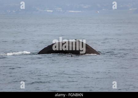 Gekrümmten Rücken der Buckelwale, Megaptera novaeangliae, Surfacing im Ozean - Stockfoto
