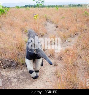 Gigantische Ameisenbär (Myrmecophaga Tridactyla) Guyana - Stockfoto