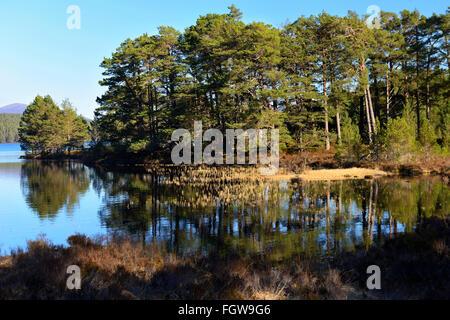 Kiefer-Wald am Ufer des Loch ein Eilein, Rothiemurchus Estate, schottischen Highlands, UK - Stockfoto